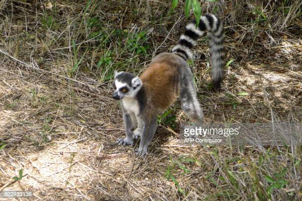 A lemur is seen at the Isalo National Park in the Ihorombe Region of Madagascar on November 5 2016 More than 150 scientists are gathering in Abidjan...