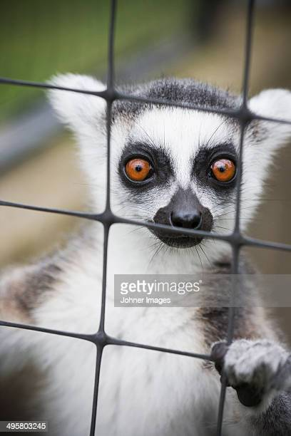 lemur looking at camera - monkey paw stock photos and pictures