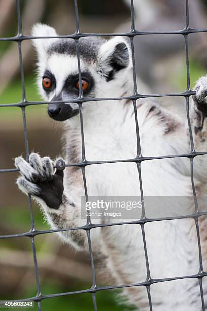 lemur looking away - monkey paw stock photos and pictures