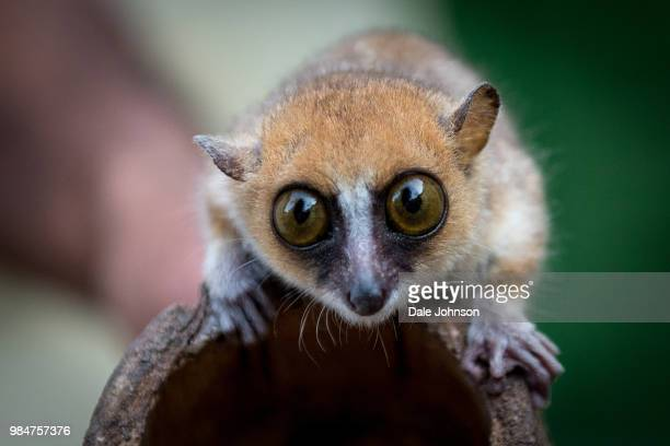lemur - madagascar - lemur stock pictures, royalty-free photos & images
