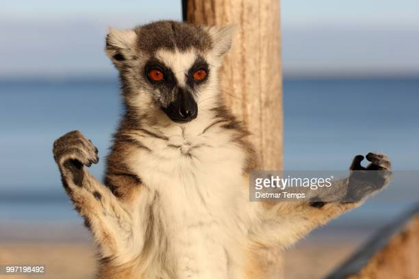 lemur, madagascar - dietmar temps stock photos and pictures