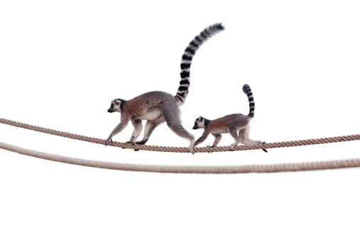 Lemur mother and child on rope 184603169