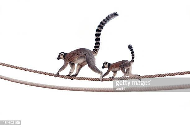 lemur mother and child on rope - animal family stock pictures, royalty-free photos & images