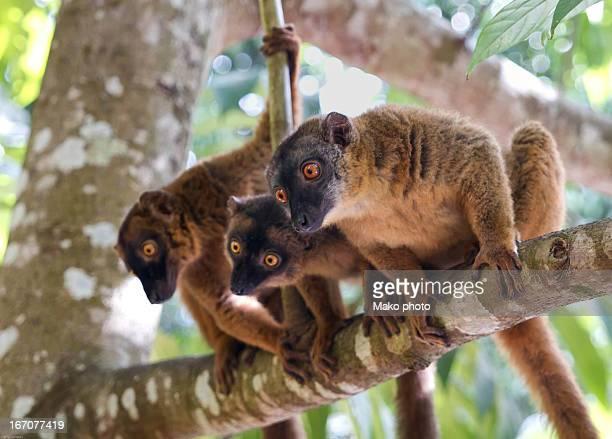 3 Lemur on a tree