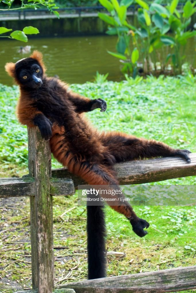 [Image: lemur-on-fence-picture-id760288255]