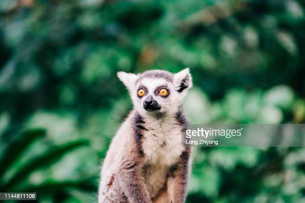 lemur - mammal stock pictures, royalty-free photos & images
