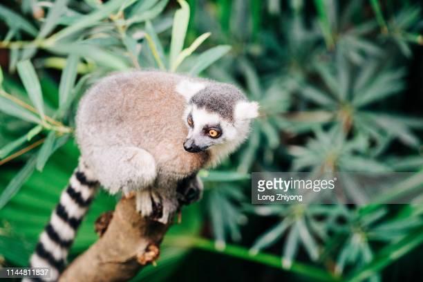 lemur - bassarisco foto e immagini stock