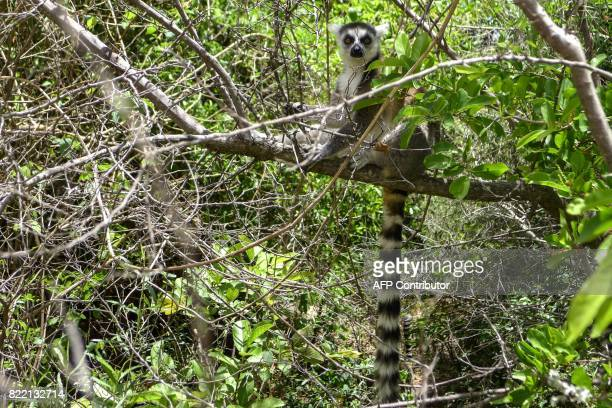 A lemur sits on the branch of a tree at the Isalo National Park in the Ihorombe Region of Madagascar on November 5 2016 More than 150 scientists are...