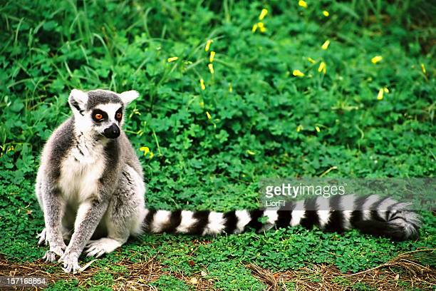 a lemur sitting on the ground in front of green vegetation - lemur stock photos and pictures