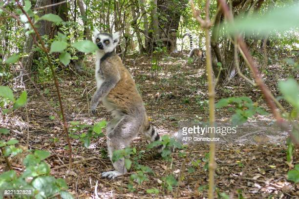 A lemur stands at the Isalo National Park in the Ihorombe Region of Madagascar on November 5 2016 More than 150 scientists are gathering in Abidjan...
