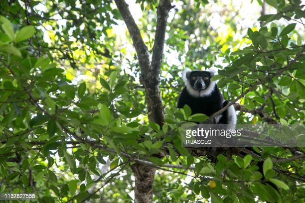 Lemur Vari sits on a branch near the Vohibola forest, Madagascar, on March 23, 2019. - The lemurs of this forest are in danger of extinction since...