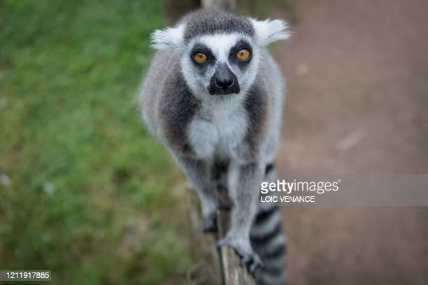 "Lemur walks along a fence at the zoologic park ""Planete Sauvage"" in Saint-Pere-en-Retz, outside Nantes, on May 6 on the 51st day of a lockdown in..."