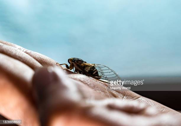 Lemuriana apicalis Is one of the Indian species of Cicadas. Cicadas are members of the superfamily Cicadoidea and are physically distinguished by...