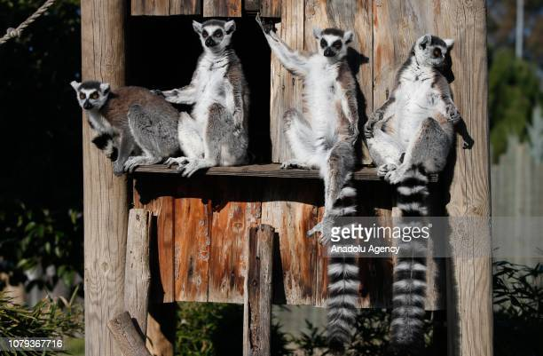 Lemurs are seen at Izmir Natural Life Park in Izmir Turkey on January 08 2019 Due to the freezing cold which could decrease 4 centigrade degrees park...