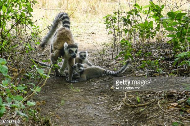 Lemurs are seen at the Isalo National Park in the Ihorombe Region of Madagascar on November 5 2016 More than 150 scientists are gathering in Abidjan...
