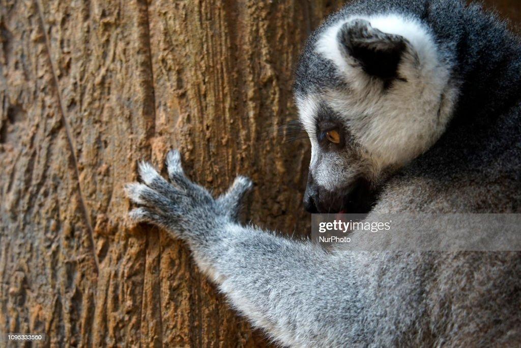 Lemurs In The Aquarium Of Sao Paulo : News Photo