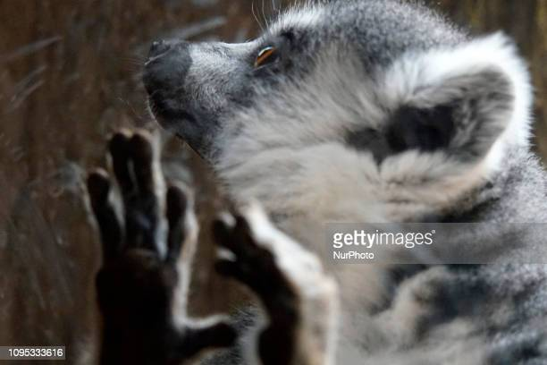 Lemurs are seen in the Aquarium of São Paulo Lemur or lemur refers to any species of the infraorder Lemuriformes all of them arboreal endemic to the...