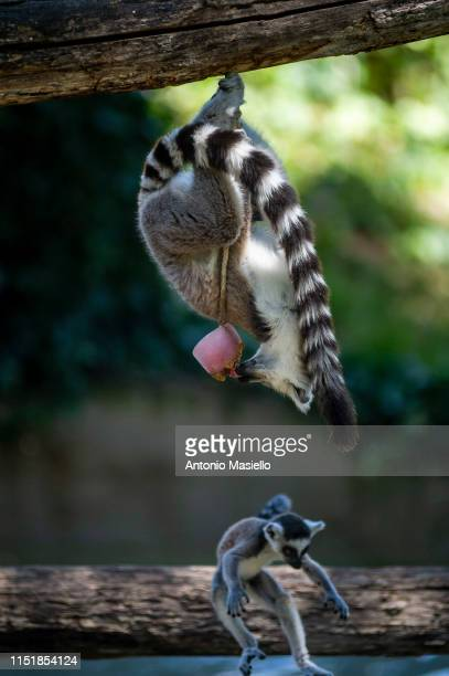 Lemurs Catta eat a block of frozen fruit to cool off during a heat wave at the Bioparco on June 25 2019 in Rome Italy