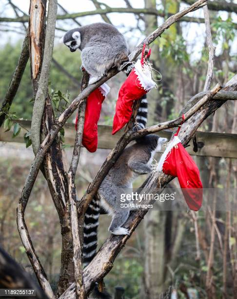 Lemurs Gets Into the Christmas Spirit at the ZSL London Zoo.