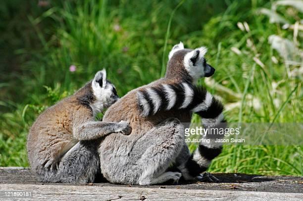 lemurs - s0ulsurfing fotografías e imágenes de stock
