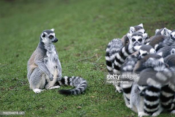 Lemurs (Lemur catta)