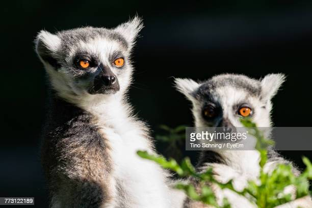 Lemurs Sitting Outdoors