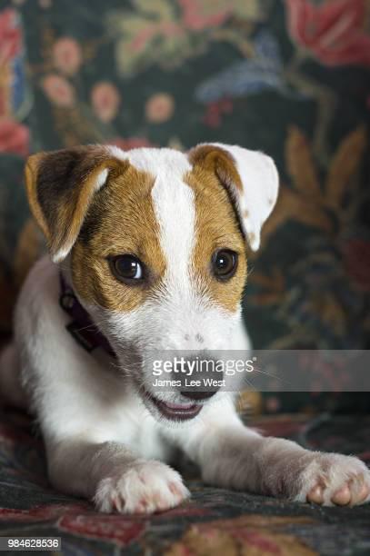 lena - jack russell terrier foto e immagini stock