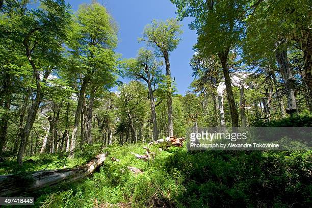 lenga forest - villarrica stock photos and pictures