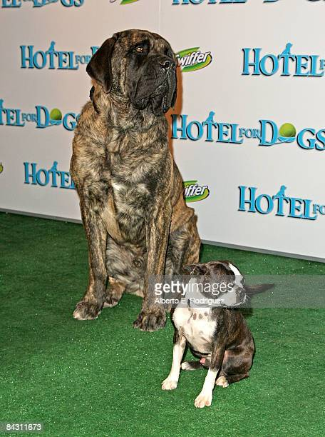 Hotel For Dogs Premiere Stock Photos And Pictures Getty Images