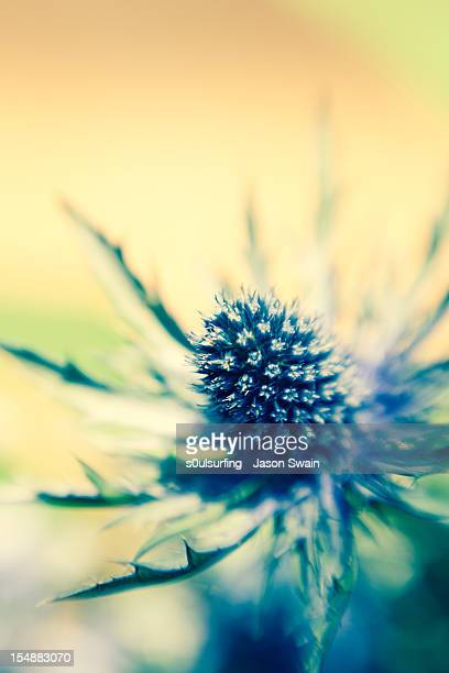 lensbaby sea holly - s0ulsurfing stock pictures, royalty-free photos & images