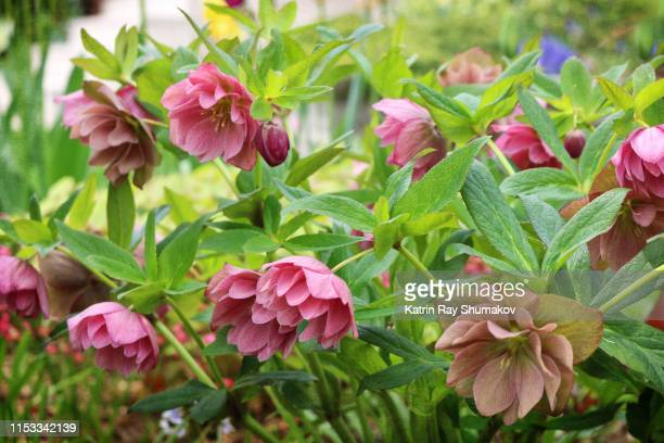 lenten roses of spring - ヘレボルス ストックフォトと画像