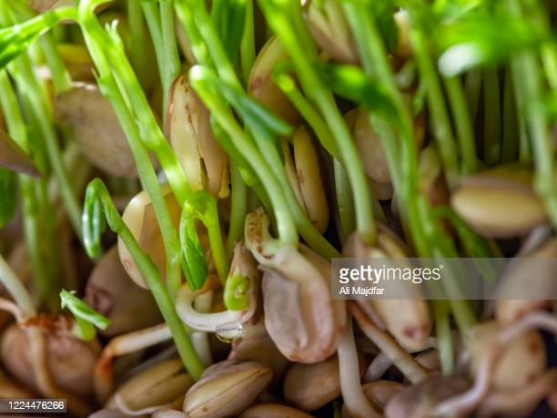 lentil sprout germination - nowruz stock pictures, royalty-free photos & images