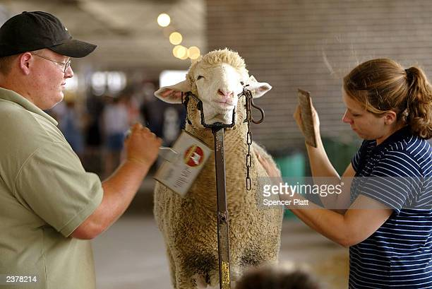 Leo and Amy Hammer groom their sheep before a 4H competion on the first day of the 2003 Iowa State Fair August 7 2003 in Des Moines Iowa This marks...
