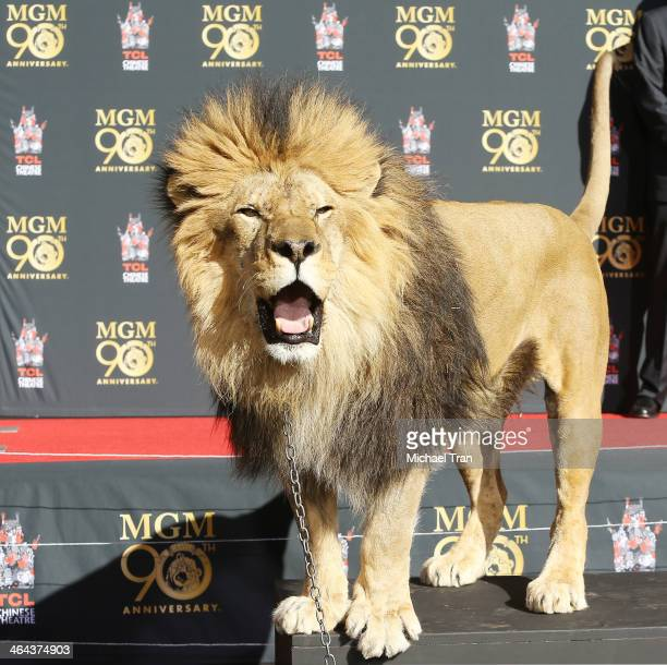 """Leo"""" the lion poses for the media at the Metro-Goldwyn-Mayer kicks off 90th Anniversary celebration held at TCL Chinese Theatre on January 22, 2014..."""