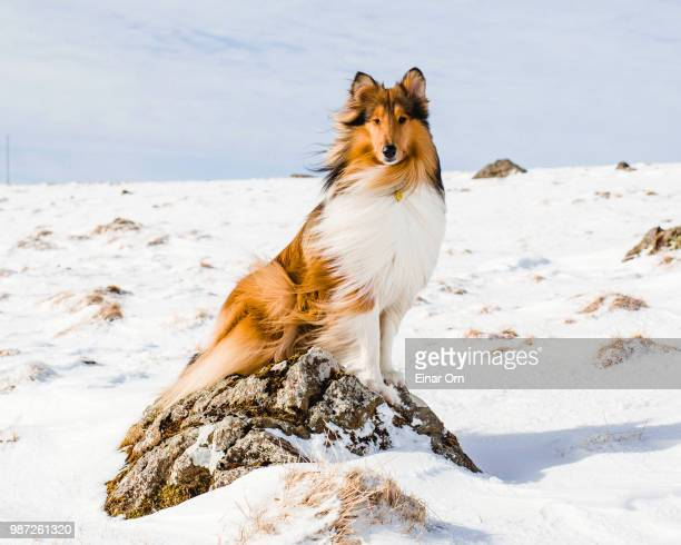 leo waiting on a rock - einar orn stock pictures, royalty-free photos & images