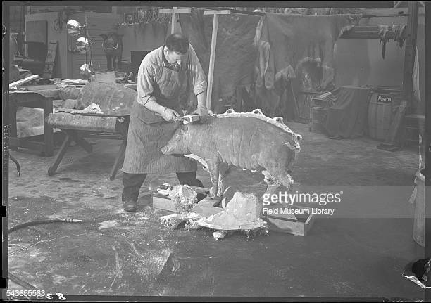 Leon Walters at work in the 4th floor taxidermy area with a Babirusa specimen in the process of being mounted Field Museum Chicago Illinois July 1945