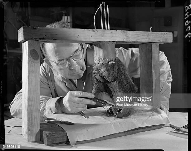 Leon Walters sculpting the reconstruction of the hand during the taxidermy process for Bushman the famed Lincoln Park Zoo Gorilla Field Museum...