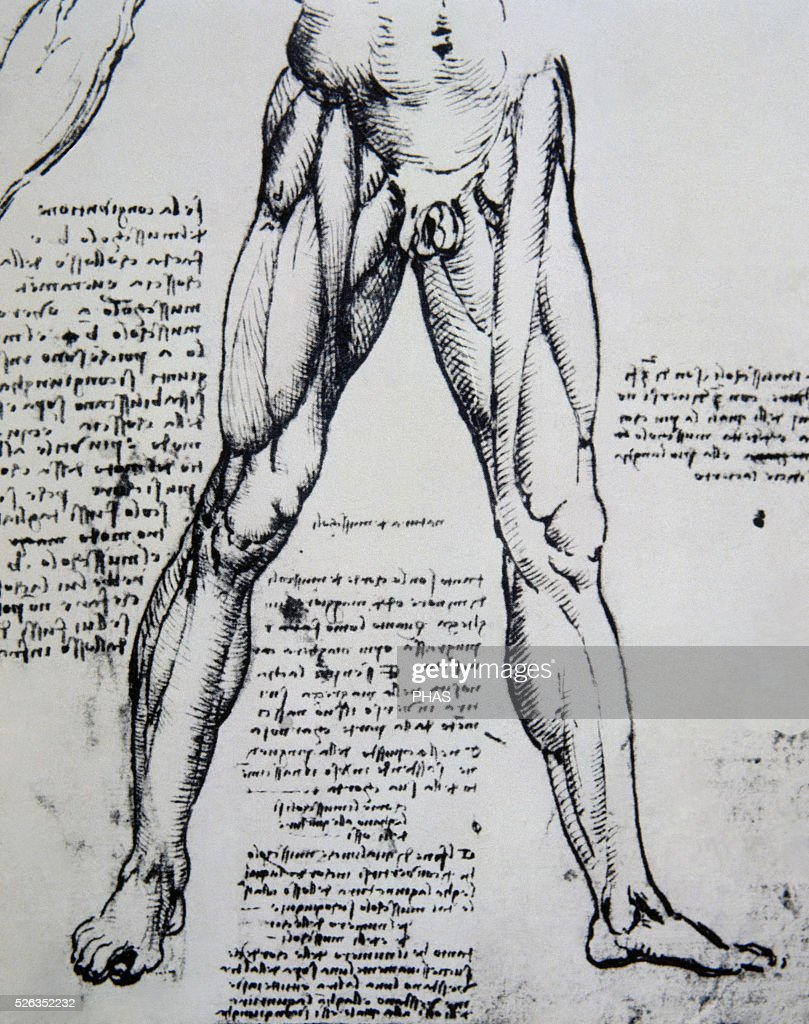 Drawing on anatomy by Leonardo da Vinci (1452-1519) The Muscles of ...