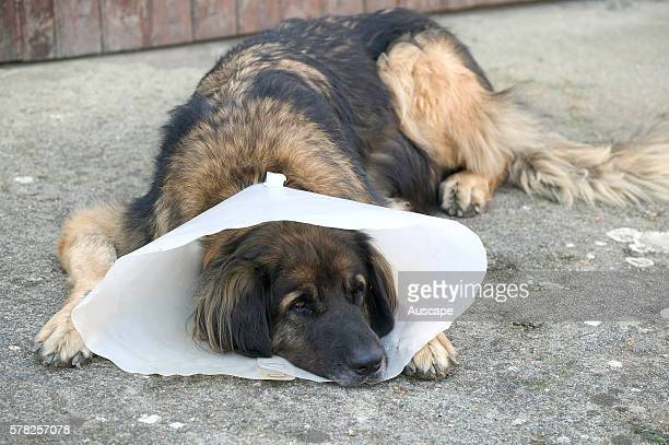 Leonberger Canis familiaris wearing broad collar to stop it licking or biting a healing wound