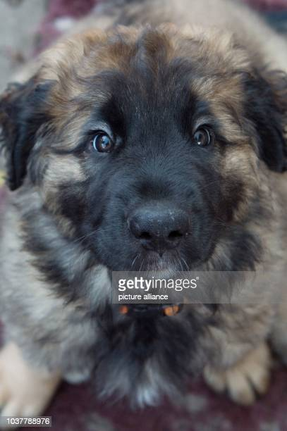 A Leonberger dog puppy pictured in Pirna Germany 10 December 2015 A total of 13 puppies were born on 08 October 2015 PhotoSEBASTIANKAHNERT/dpa |...
