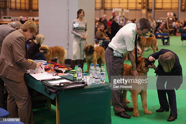 Leonberger is judged for the title of '1st Puppy Dog' in the ring with its owner on Day Three of Crufts at the Birmingham NEC Arena on March 10 2012...