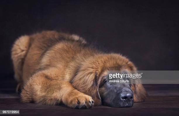 Leonberger Junghund