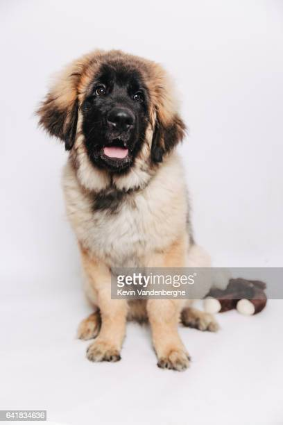 Leonberger pup in the studio beautiful dog