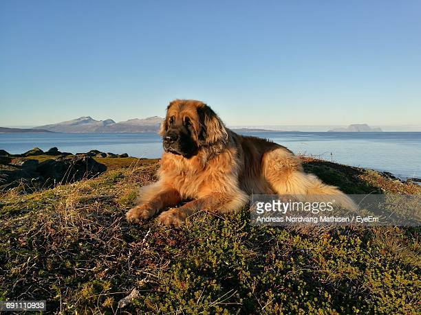 Leonberger Resting At Beach Against Clear Sky