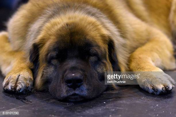 A leonberger sleeps on the floor on the third day of Crufts 2016 on March 12 2016 in Birmingham England First held in 1891 Crufts is said to be the...