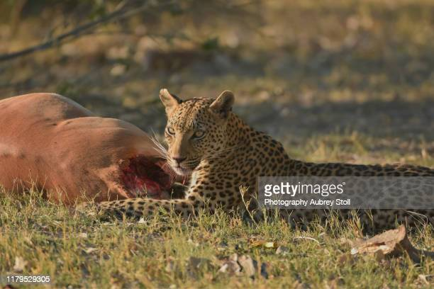 leopard after a kill - killing stock pictures, royalty-free photos & images