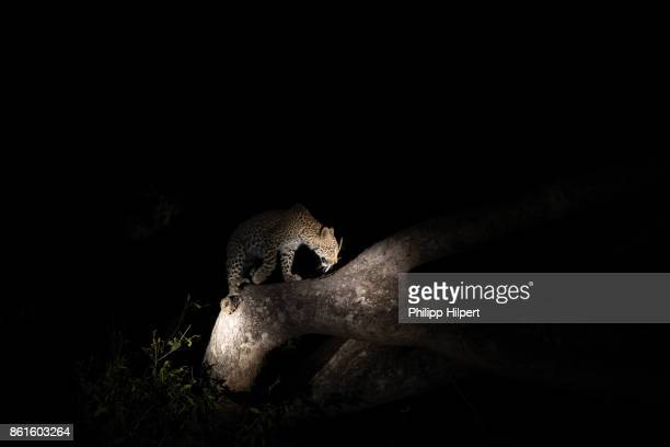 leopard and cup sitting in tree at night in sabi sands game reserve, kruger national park south africa - 自然保護区 ストックフォトと画像