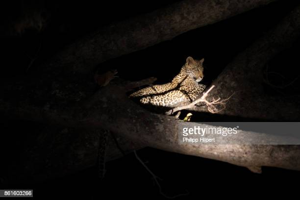 leopard and cup sitting in tree at night in sabi sands game reserve, kruger national park south africa - night safari stock pictures, royalty-free photos & images