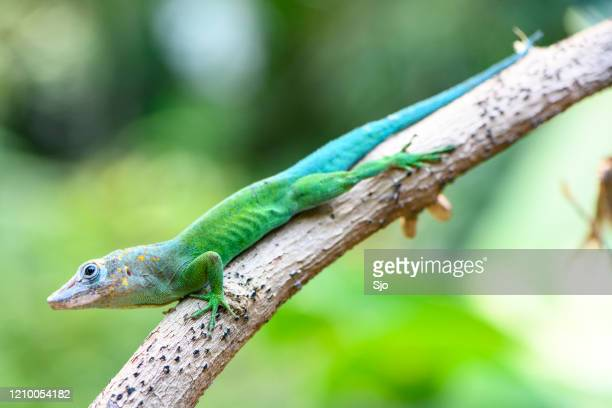 """leopard anole or guadeloupean anole (anolis marmoratus) sitting on a twig in the jungle - """"sjoerd van der wal"""" or """"sjo"""" stock pictures, royalty-free photos & images"""