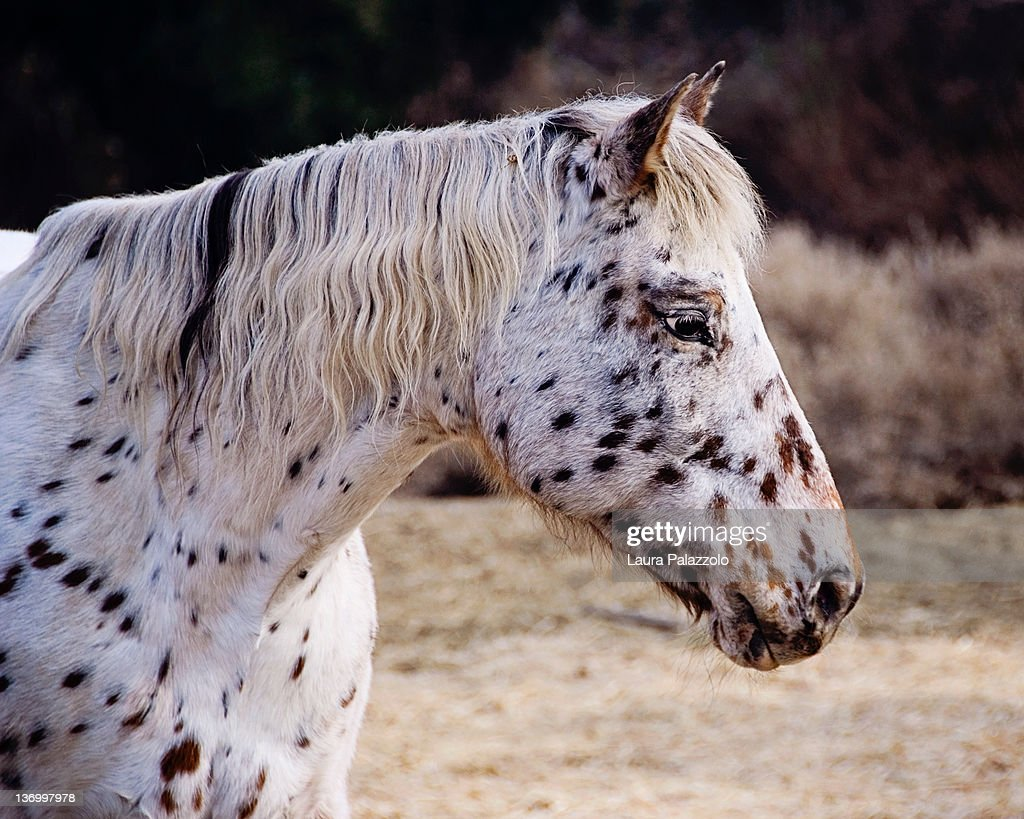 Leopard Appaloosa Mare Stock Photo - Getty Images